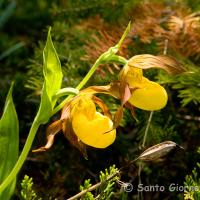Yellow Lady's Slipper by sangio in Regular Member Gallery