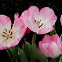 Tulips4all by DonWeston in DonWeston