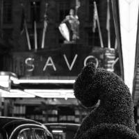 Savoy Cats by Steve P. in Regular Member Gallery