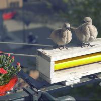 Turtle doves by modator in Regular Member Gallery