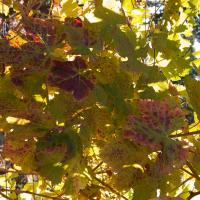 Grape Leaves by Bob