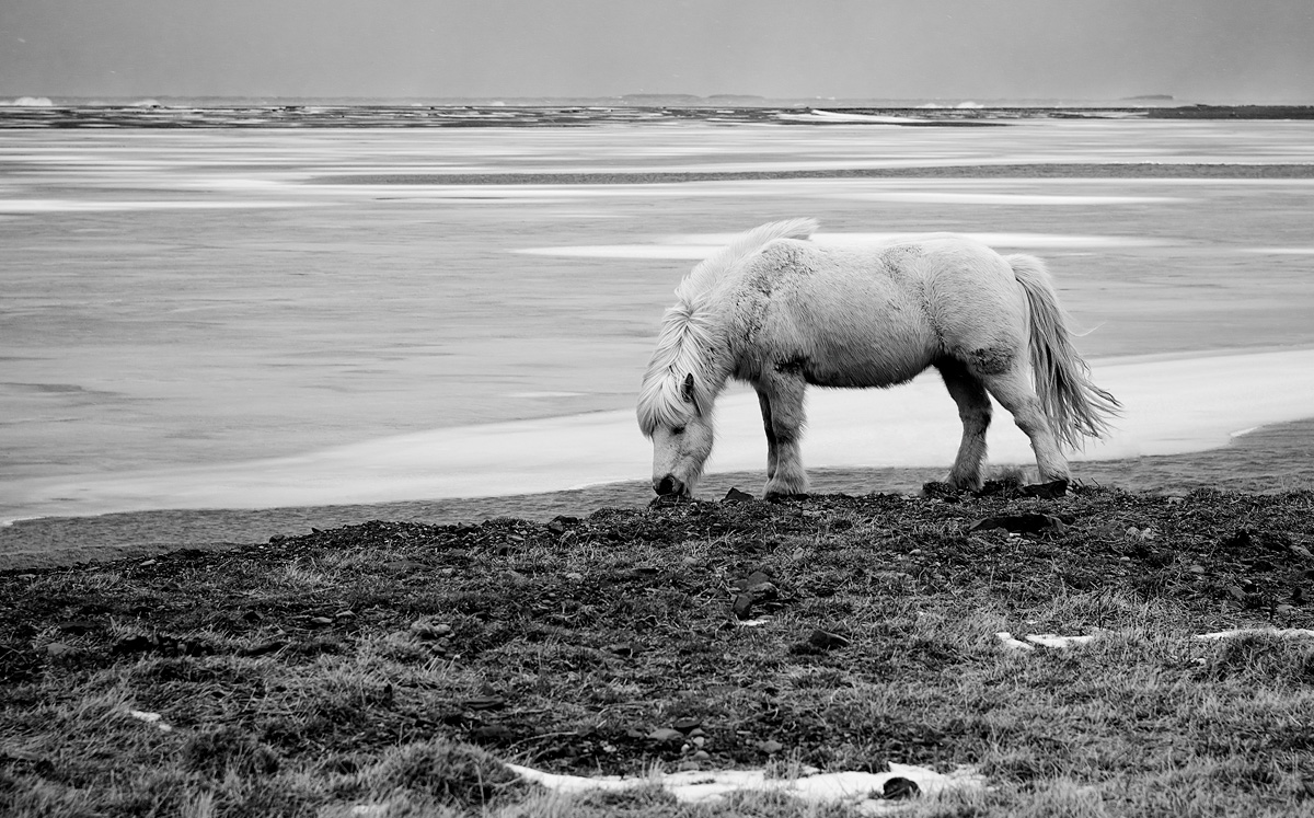 Icelandic Horse by Bob in Bob Freund