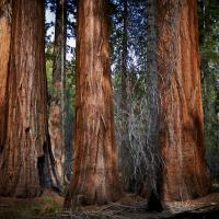 Sequoia Trunks by Bob in Bob Freund