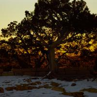 Grand Canyon Dawn - Tree by Bob