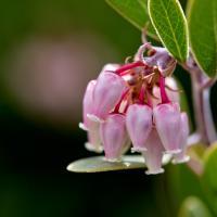Manzanita Blossoms by Bob in Bob Freund
