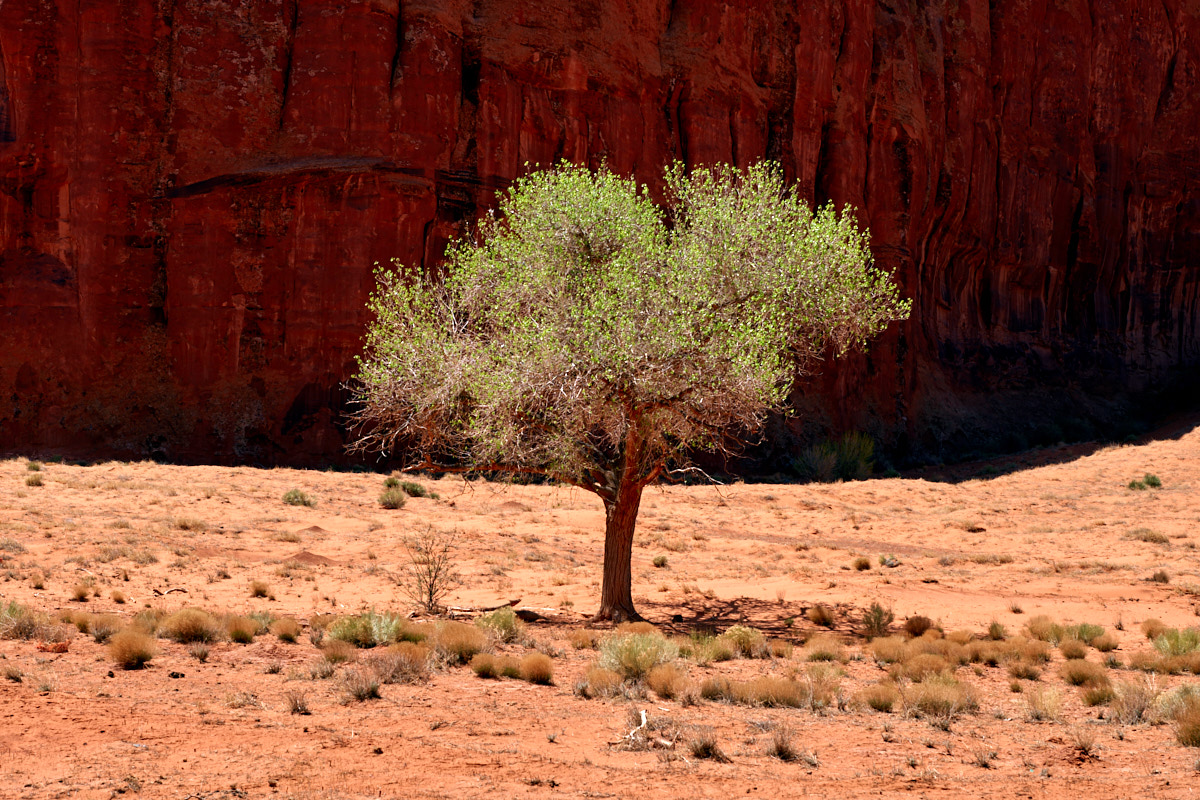Navajo Tree by Bob in Bob Freund