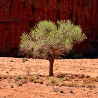 Navajo Tree by Bob