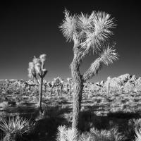 Joshua Tree by Bob in 2010-02 Salton Sea