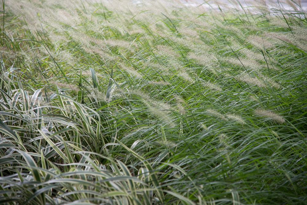 Blowing Grass, China by Bob in Bob Freund