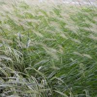 Blowing Grass, China by Bob