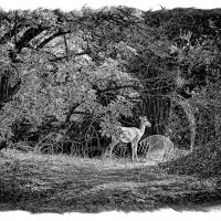 Female Impala In Thicket (2011) by In a Different Light