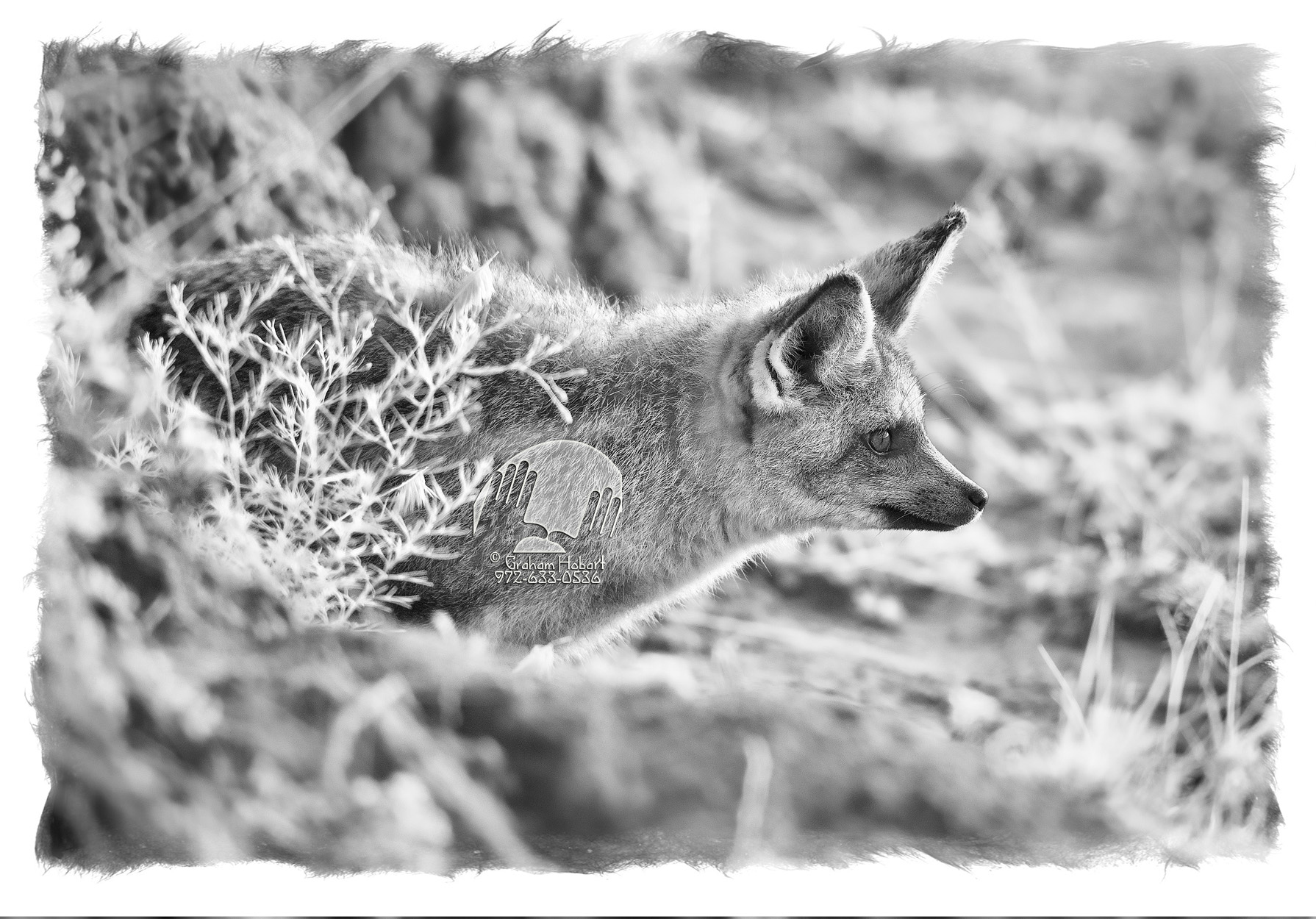 Bat-eared Fox Emerges From Den #1 (2012) by In a Different Light in Regular Member Gallery