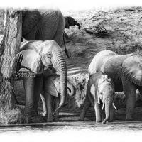 Elephants Drinking On Bank Of The River Uaso Nyiro #2 (2012)