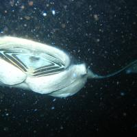 Manta Ray 4 by andy in Big Island, Hawaii 12/2007