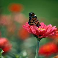 Butterfly On Zinnia by Cindy Flood in Cindy Flood