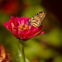Last Monarch Of The Season by Cindy Flood in Cindy Flood