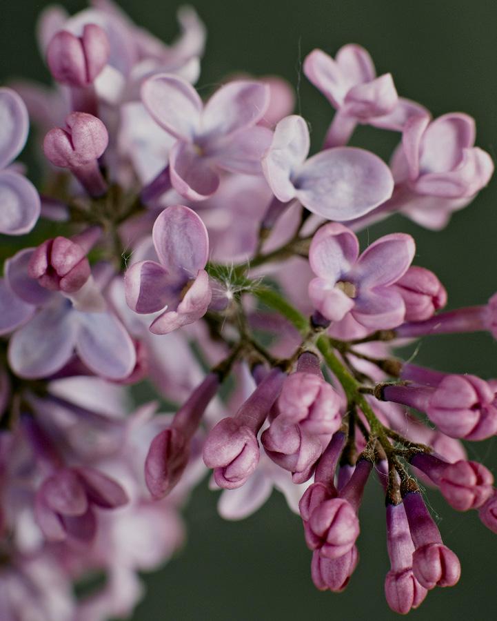 Lilac by Cindy Flood in Cindy Flood