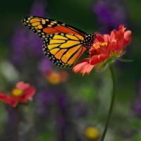 Monarch1 by Cindy Flood in Cindy Flood