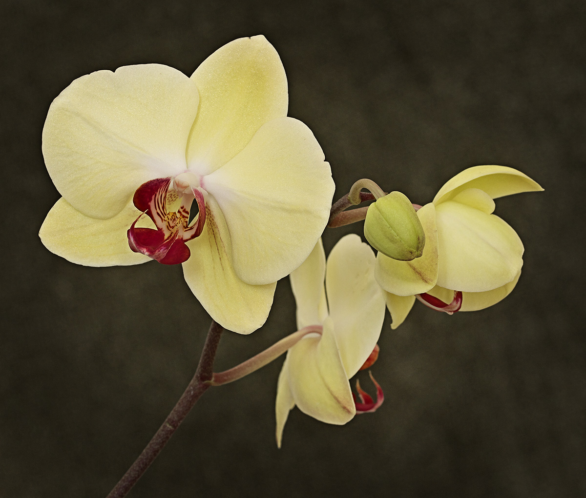 Phalaenopsis Orchid by Cindy Flood in Cindy Flood