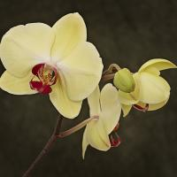 Phalaenopsis Orchid by Cindy Flood