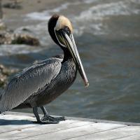 Pelican1 by Cindy Flood in Cindy Flood