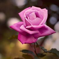 Rose by Cindy Flood in Cindy Flood