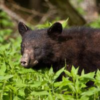 Cades Cove Bear 1 by Mark Gowin in Regular Member Gallery