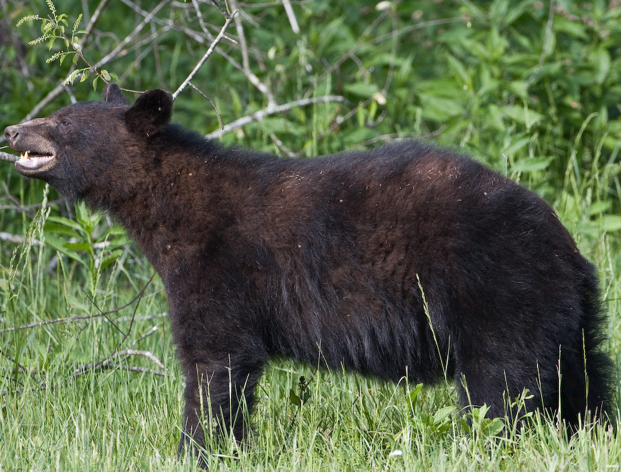 Cades Cove Bear 2 by Mark Gowin in Regular Member Gallery