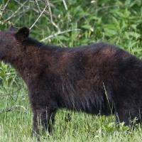 Cades Cove Bear 2 by Mark Gowin
