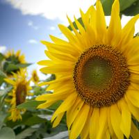 Sunflower 1 by Rich M in Regular Member Gallery