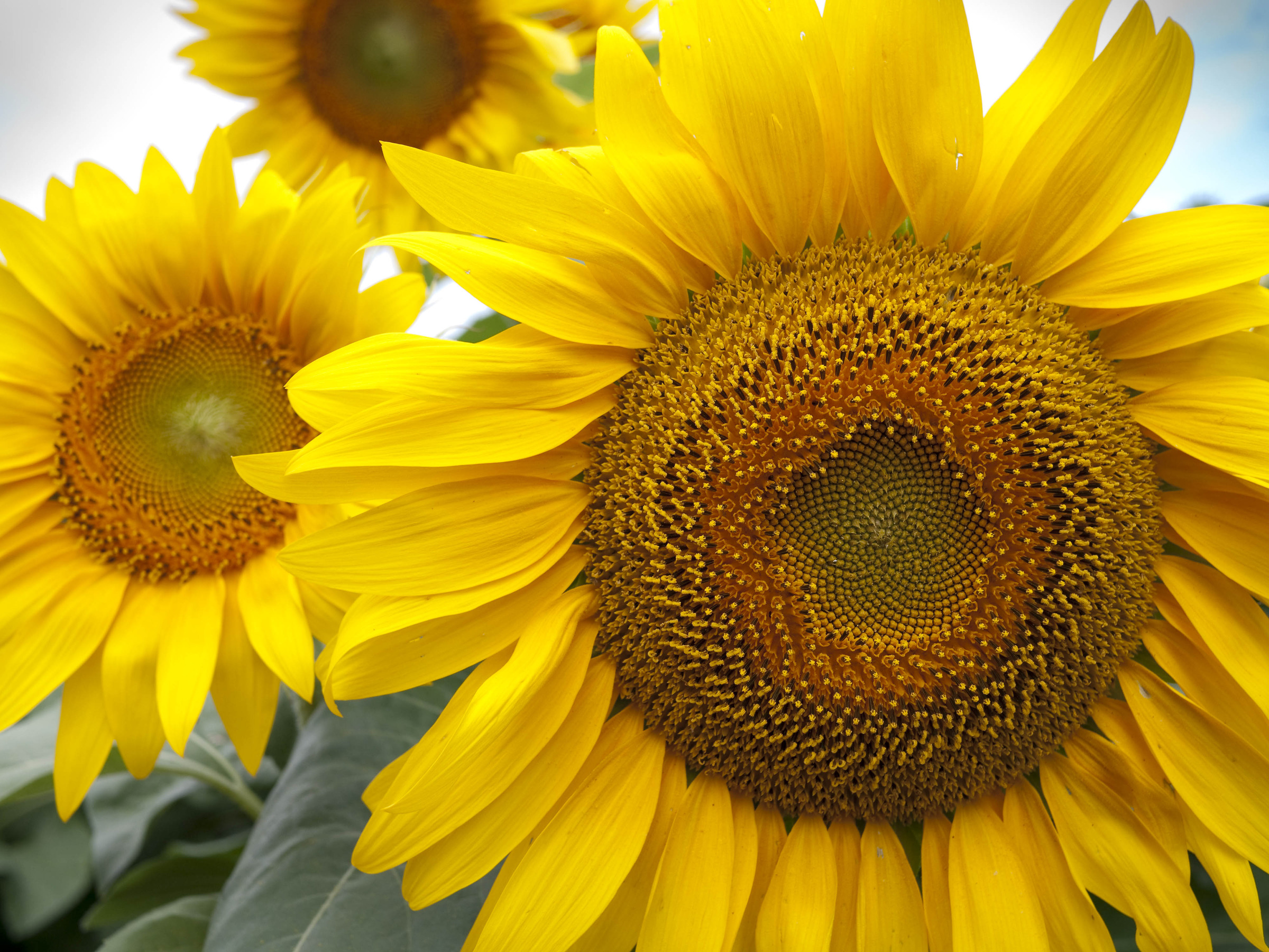 Sunflower 2 by Rich M in Regular Member Gallery