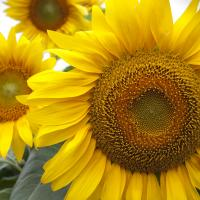 Sunflower 2 by Rich M in Regular Member Gallery