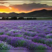 110709 Lavender -000234-edit Getdpi by Wayne Fox in alajuela