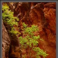 Zion Narrows Tree by Wayne Fox