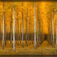 Rows Of Gold by Wayne Fox