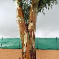 Eucalyptus by sinwen in Regular Member Gallery