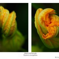Male And Female Flowers Courgettes. by Yuri