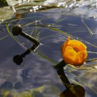 Water-lily by Yuri in Regular Member Gallery