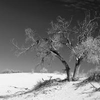 Cottonwood At White Sands by billbunton in Landscapes