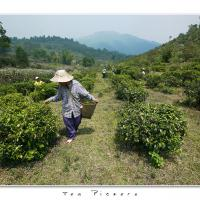 Tea Pickers by Jorgen Udvang