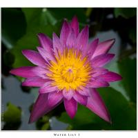 Water Lily I by Jorgen Udvang