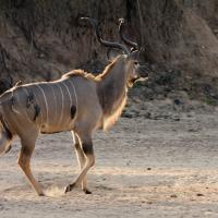 Kudu by jaapv in Jaapv