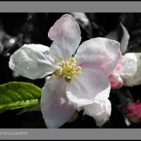 Apple Blossom by jaapv