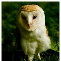 Barn Owl by jaapv