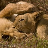 Cubs Too by jaapv in Jaapv