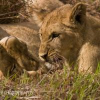 Cubs by jaapv in Jaapv
