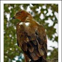 African Tawny Eagle by jaapv in Jaapv