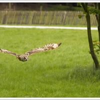 Owl In Flight by jaapv in Jaapv