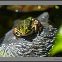 Frog2 Varioelmar by jaapv
