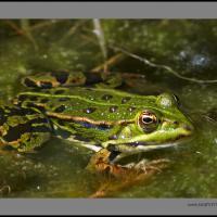 Frog3 Noflexar by jaapv